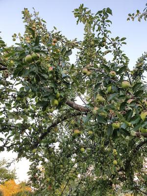 Apfelbaum in Weil im Schönbuch