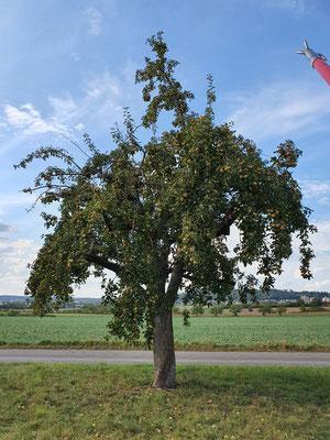 Apfelbaum in Herrenberg
