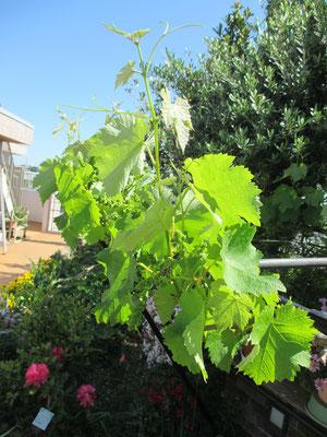 令和元年5月8日 撮影  ツルが勢いよく伸び、葡萄の花芽がついています