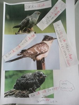 Collin hat eindrucksvolle Bilder vom Kuckuck gefunden!