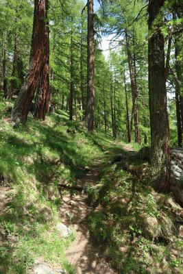 sentier randonnée dans les mélèzes