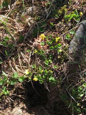 キバナコマノツメの花