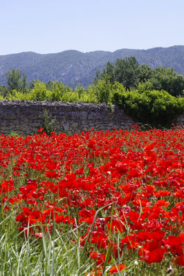 poppy fields close to oppede le vieux