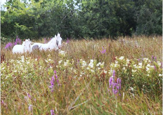 Irlande chevaux