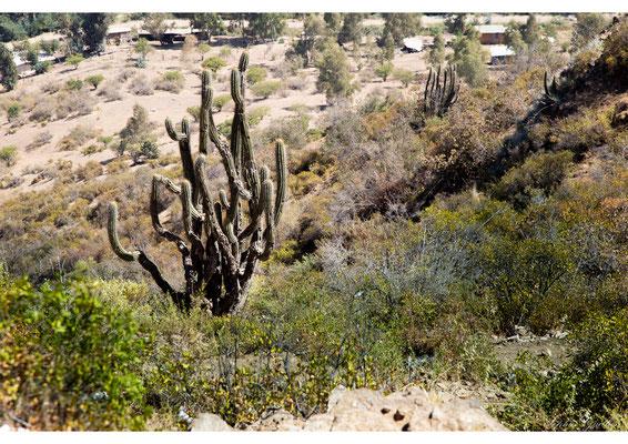Chili Cactus