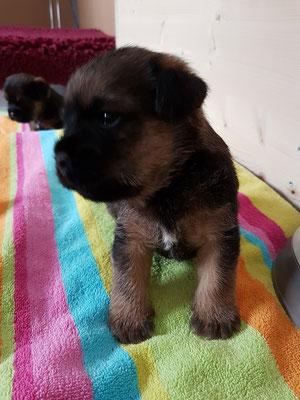 Border Terrier Welpe