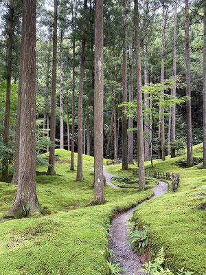 杉並木の間に続く苔の道