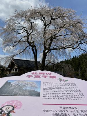小松市松岡町の千恵子桜🌸