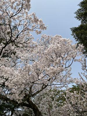 満開の桜🌸