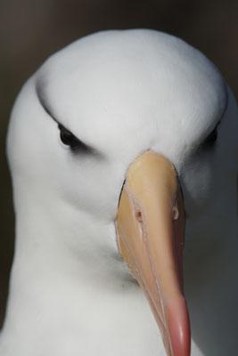 Wenkbrauwalbatros - Black-browed albatross - Thalassarche melanophris