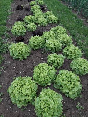 ....noch mehr Salat. Salat kann man nie genug haben!