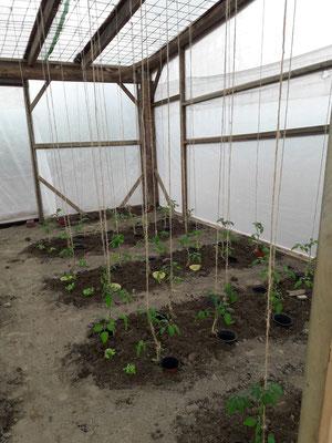 Die Tomaten wurden im vergangenen Jahr an Schnüren bis zur Decke geleitet.