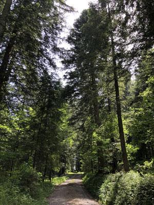 Durch den Allmeindwald zum Loosernwald