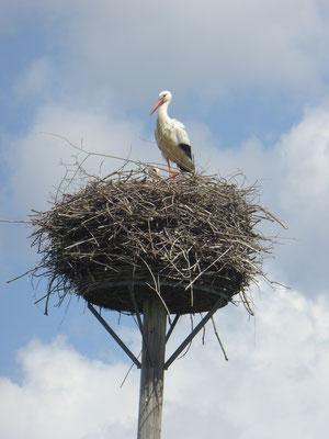 Storch in Dornheim, zwischen Neckarring und Baugebiet Nachtweide