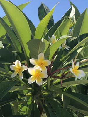Frangipani - wunderschön und betörend duftend