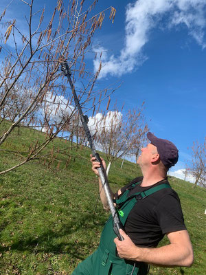Haselbäume schneiden Anfang März 2020
