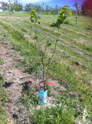 Blätterverlust bei einem nachgepflanzten Baum (Wunder von Bollweil). Ursache unbekannt.