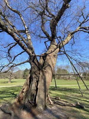 Bild: Baum mit einer besonderen Liaison