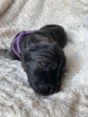 Petite Violette