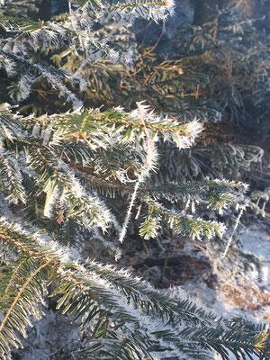 weiße, gefrorene Spinnfäden an Nadelbaum im Sonnenlicht
