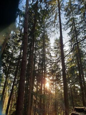 Wald - Nadelbäume