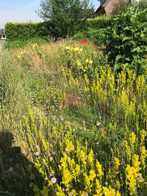 Hier darf Labkraut im Vorgarten blühen und duften.(Foto: Heinrich Hachmann)