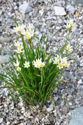 Nothoscordum x borbonicus