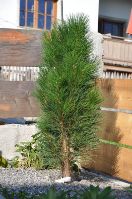 Pinus nigra Green Tower Zwerg Säulenkiefer