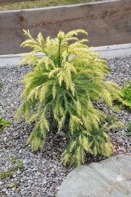 cryptomeria japonica sekkan