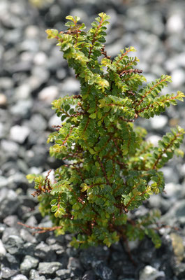 Ulmus parvifolia Hokkaido