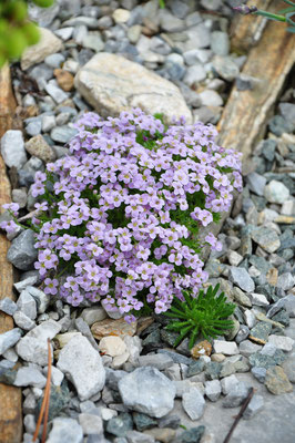 Petrocallis pyreanica Steinschmückel