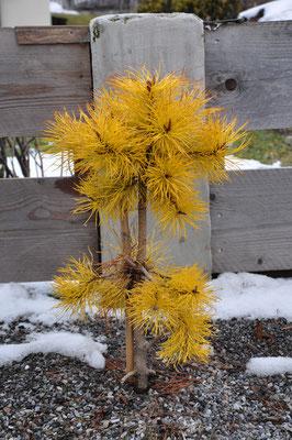 Pinus contorta chief joseph