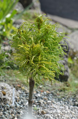 pinus strobus green curls