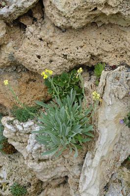 Anchonium elichrysi  folium