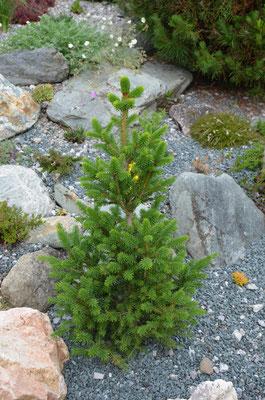 Picea willis zwerg