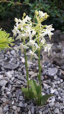 Platanthera bifolia Waldhyazinthe