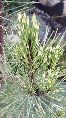 pinus densiflora oculus diasonnis