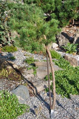 pinus sylvestris hillside creeper