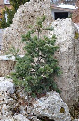 Pinus parvifolia Nigishi