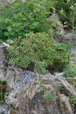Salix arbuscula Kätzchenweide