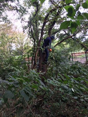 クワノキの枝打ち(赤い手袋に注目)
