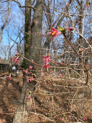 ウグイスカグラ開花していました(済美山自然林)