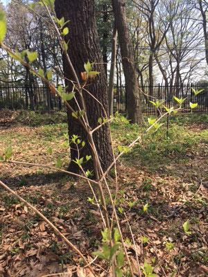クヌギを背景にヤマユリの枯れた果穂とムラサキシキブの新芽 済美山自然林