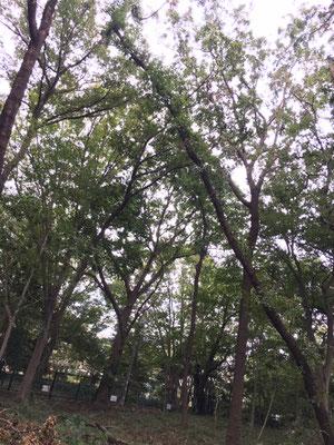 斜めになった大きな危険木(通路側には倒れないと思われます)