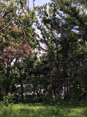 コナラの危険な掛かり木(ヤマユリ群生地の上空 左右の巨木に発生 下で作業は危険です)