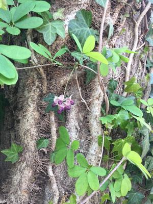 アケビの開花 済美山自然林(西側)