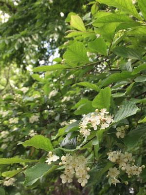 カマツカの花アップ