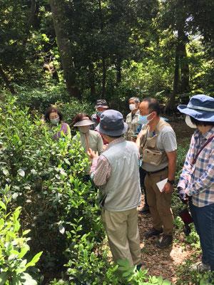 一番茶の茶摘みの要領を田口さんより先ず説明を受ける 一芯二葉の新芽をつまみ取る