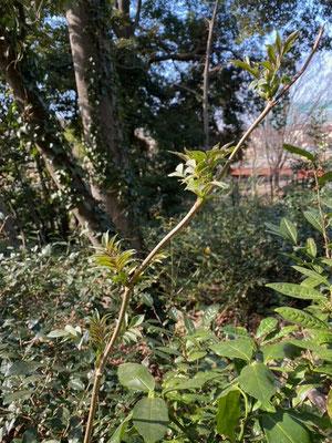 ニワトコの芽吹き (観察の森)