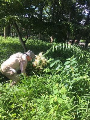 済美山自然林 ヤマユリ回りの下草刈り